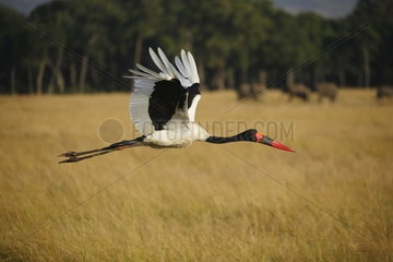 Saddle-billed stork (Ephippiorhynchus senegalensis) in flight  Masaï Mara  Kenya