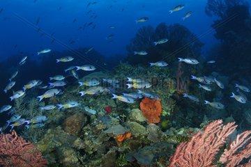 Banc de Donzelles créoles nageant près d'un récif Belize