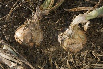 Onions 'Stuttgart' Le Potager Extraordinaire France