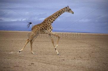Girafe Masaï courant Afrique de l'Est