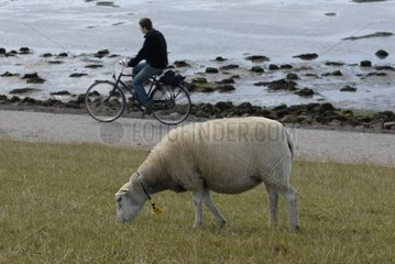 Texel lamb and cyclist island of Terschelling Netherlands