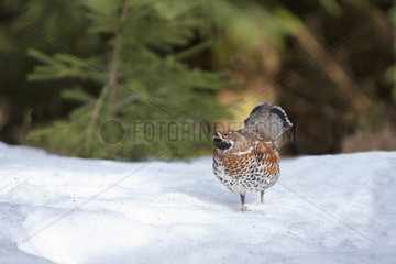 Hazel grouse (Tetrastes bonasia rhenana) male on snow  Vosges  France