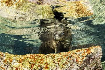 California sea lion  (Zalophus californianus)  Los Islotes  Sea of Cortez  Baja California  Mexico  East Pacific Ocean