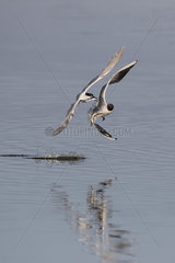 Mediterranean Gull (Larus melanocephalus) and Sandwich tern (Sterna sandvicensis)  Quarrel in flight for a fish in spring  Polder of Sebastopol  Ile de Noirmoutier  Atlantic coast  France