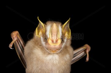 Portrait of Gnome Fruit-eating Bat Kaw French Guiana