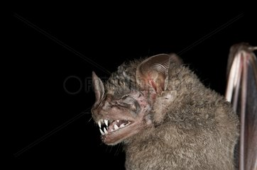 Portrait of Dark Fruit-eating Bat French Guiana