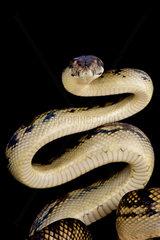 ScPython amethyste rub Python (Morelia amethistina)  Milne bay  Papua New Guinea
