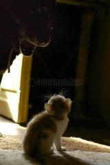 Frightened old dog barking on a surprised kitten France