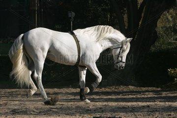 Andalusian thorough-bred with raising [AT]