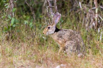 Black naped hare (Lepus nigricollis)  Wilpattu national patk  Sri Lanka