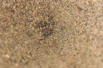 Larva of antlion pit on standby to the bottom of the funnel