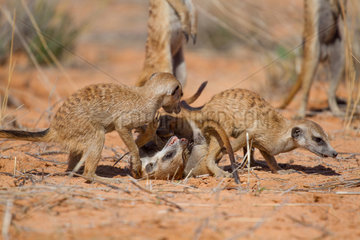 Meerkats play fighting - Kalahari South Africa
