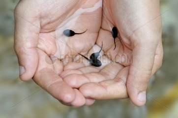 Common Toad tadpoles in the palm of the hands of a boy