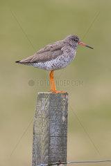 Redshank (Tringa totanus) Bird perched on a post  Shetland   Spring