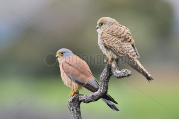 Common Kestrel couple on a branch - Spain
