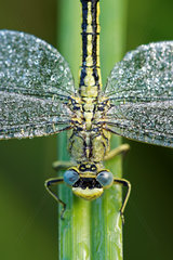 Dragonfly (Odonata sp) covered with dew at dawn  Prairies du Fouzon  Loir et Cher  France
