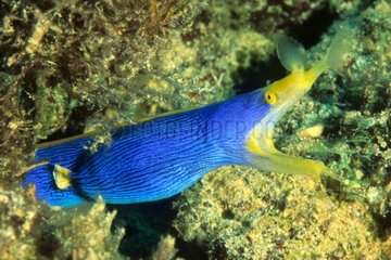 Portrait of Ribbon moray on guard reef