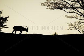 Ibex (Capra ibex) female walking at dusk  France