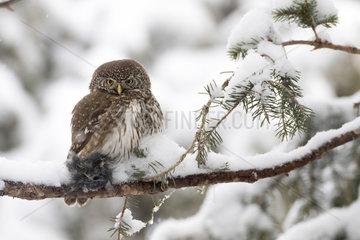 Pygmy Owl (Glaucidium passerinum)  female with prey on a snowy branch  Alps  France