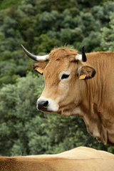 Portrait of Corsican cow in the bush - Corse France