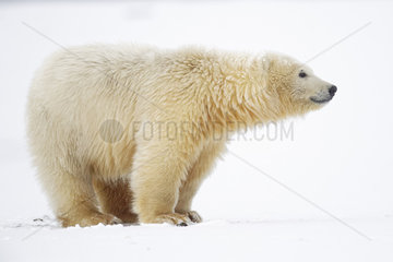 Polar bear (Ursus maritimus) in snow  Barter Island  North of the Arctic Circle  Alaska.