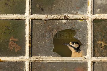 Great spotted woodpecker (Dendrocopos major) Woodpecker perched on an old window  England  Autumn