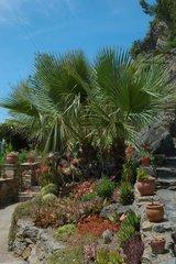 Palm trees in the Mediterranean garden of Roquebrun Hérault