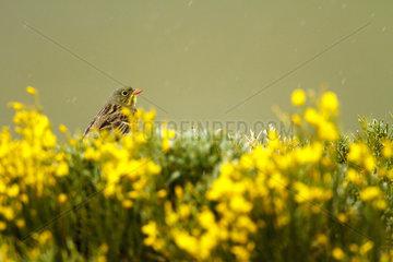 Ortolan Bunting on flowering bush - Sierra de Gredos Spain