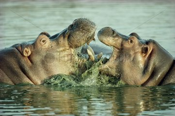 Fights between two male Hippopotamuses