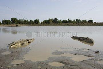 Nile crocodile on the banks of the pond Bazoulé Burkina Faso