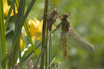 Eurasian red dragonfly emerging Bourgogne France