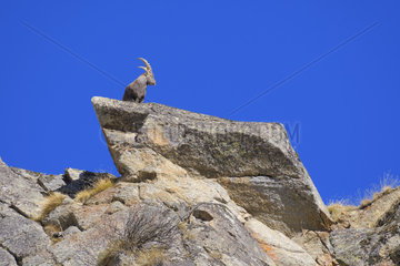 Alpine Ibex  Capra ibex  Male  Gran Paradiso National Park  Alps  Italy  Europe