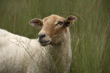 Portrait of Kempen Heath Sheep Netherlands