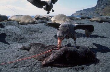 Pétrel géant sub-antarctique mangeant un éléphant de mer
