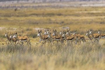 Springbok (Antidorcas marsupialis) running  Namibia  Etosha national park