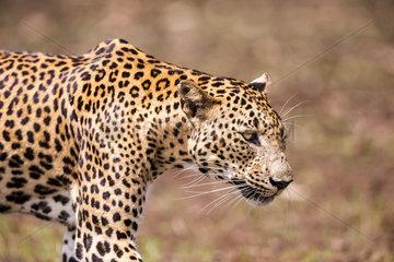Sri Lankan Leopard Panthera pardus kotiya)  Wilpattu national patk  Northwest Coast of Sri Lanka  Sri Lanka