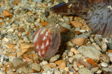 Lyrocardium on sand - Southern Lagoon New Caledonia