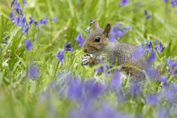 Grey squirrel (Sciurus carolinensis) Squirrel feeding amongst bluebell  England  Spring