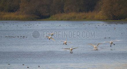 Whooper Swans (Cygnus cygnus) in migratory flight  Sauer Delta Nature Reserve  Rhine Border  Munchhausen  Alsace  France