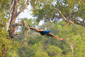Indian Peafowl or Blue Peafowl (Pavo cristatus)  male landing  Wilpattu national patk  Northwest Coast of Sri Lanka