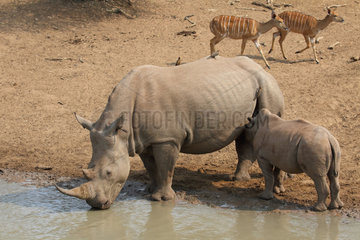 White Rhinoceros (Ceratotherium simum) female suckling her young at pond  Kruger  South Africa