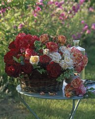 Roses 'Hommage à Barbara' 'Téléthon' and 'Alfred Sisley'