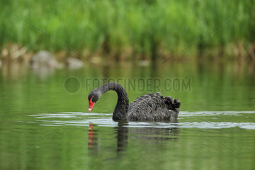Black swan (Cygnus atratus) on a pond  Alsace  France. Livestock specimen that came back to wildness
