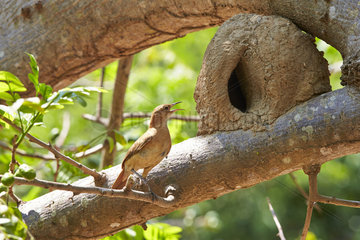 Rufous Hornero at the entrance to his earth nest - Pantanal