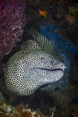 Laced Moray (Gymnothorax favagineus)  Indian Ocean  Mayotte