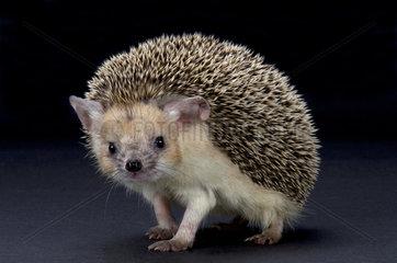 Big-eared hedgehog (Hemiechinus auritus)  Russia