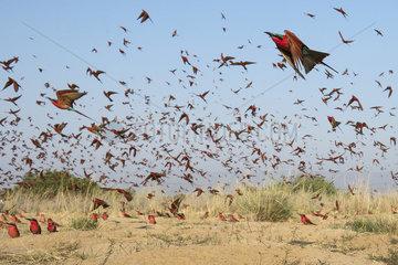 Carmine bee-eater (Merops nubicoides)  in flight  breeding colony at the Sambezi river  Namibia