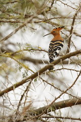 Hoopoe (Upupa epops)  Samburu  Kenya