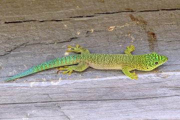 Banded Day Gecko (Phelsuma standingi)  Zombitse-Vohibasia National Park  Madagascar