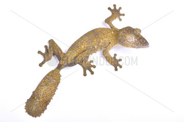 Leaf-tailed gecko (Uroplatus henkeli) on white background